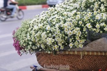 Cúc họa mi gọi đông về len lỏi khắp phố phường Hà Nội