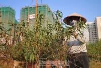 Đào chết khô trước Tết, người trồng lo lắng thất thu