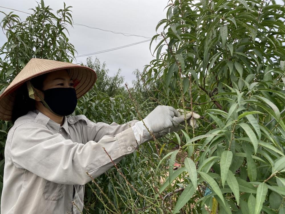 Người dân Nhật Tân tất bật tuốt lá đào chuẩn bị cho Tết
