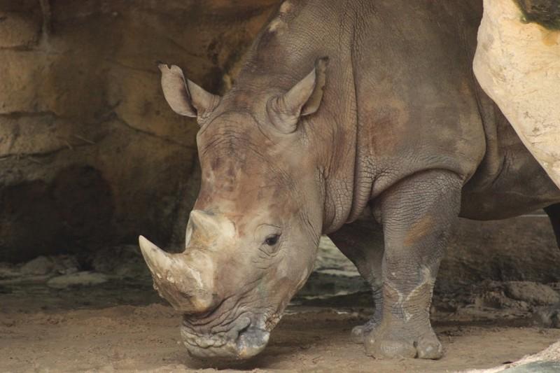 1 phút vì sự sống của tê giác