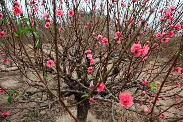 """Ngắm vườn đào """"xuyên hai thế kỷ"""" cực hiếm ở Hà Nội"""