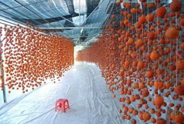 Hồng sấy treo Đà Lạt nửa triệu đồng một kg hút hàng dịp Tết