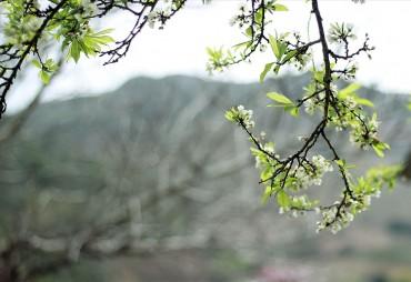 Hoa mận trái mùa e ấp bên non