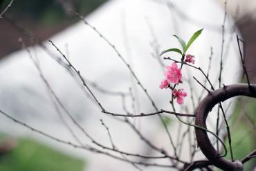 Đào Nhật Tân được bao nilon, thắp điện chống rét