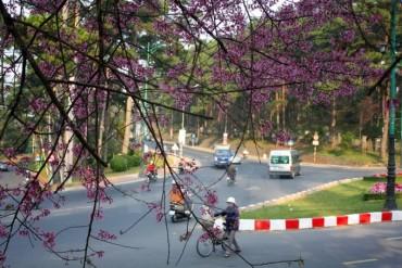Mai anh đào hút khách du lịch lên phố núi Đà Lạt