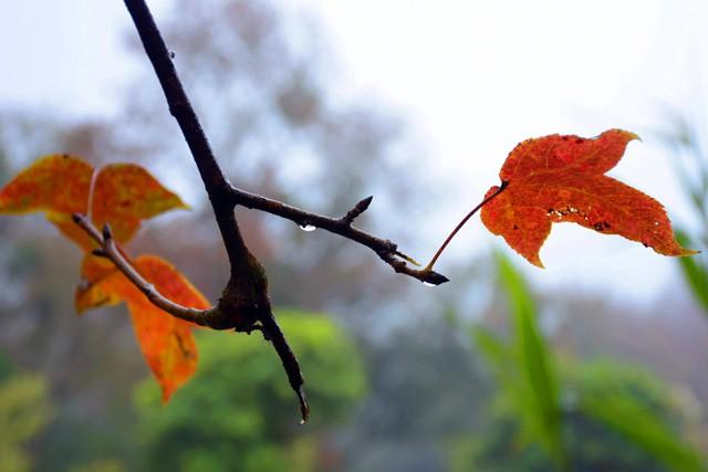 Ít người biết, ngay gần Hà Nội đã có rừng phong lá đỏ