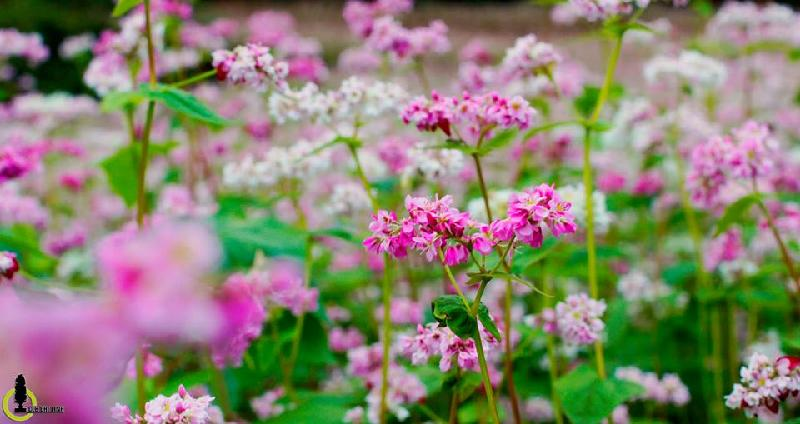 Mách bạn 12 mùa hoa tuyệt đẹp trên khắp mọi miền tổ quốc
