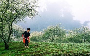 Hoa mận, hoa đào rực rỡ đầu Xuân trên cao nguyên Mộc Châu