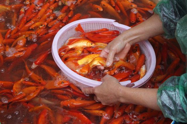 Phóng sinh cá chép vào ngày ông Công, ông Táo thế nào cho đúng?