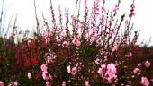 Những loài hoa trưng bày dịp Tết mang lại may mắn, tài lộc cho gia chủ