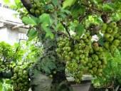 Ý nghĩa của cây sung trong ngày Tết cổ truyền ở Việt Nam