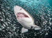 Khoảnh khắc cá mập hổ bơi giữa 'quả cầu thức ăn khổng lồ'
