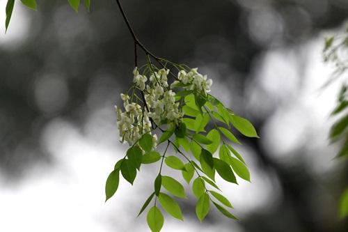 Sắc trắng tinh khôi của loài hoa khiến Hà Nội trở nên nhẹ nhàng và thanh bình biết nhường nào...