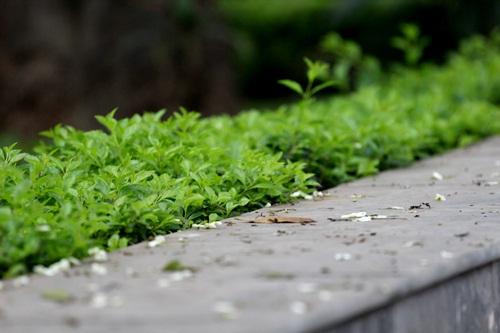 Những cánh hoa sưa mỏng manh rơi rớt như những bông tuyết phủ xuống hè phố nhẹ nhàng.