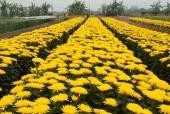 Làng hoa Tây Tựu:  Thành làng nghề truyền thống