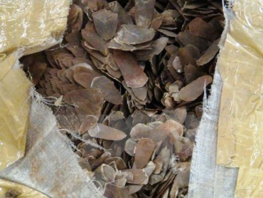 Còn nhiều người hiểu chưa đúng về việc dùng vảy tê tê để chữa bệnh