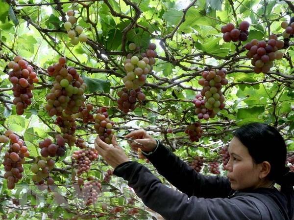 Tour du lịch tham quan vườn nho ở Ninh Thuận hút khách