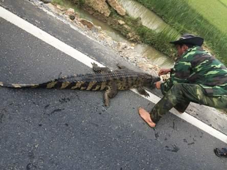 Người dân vây bắt cá sấu bên quốc lộ 1A