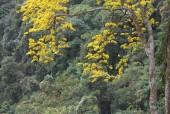 Hoa mai Yên Tử vàng rực trên non thiêng