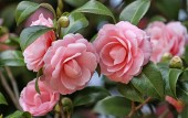 Loài hoa đẹp không tì vết 'vạn người mê' khiến dân mạng điên đảo