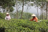 Làng chè Ba Trại: Điểm sáng kinh tế của huyện Ba Vì