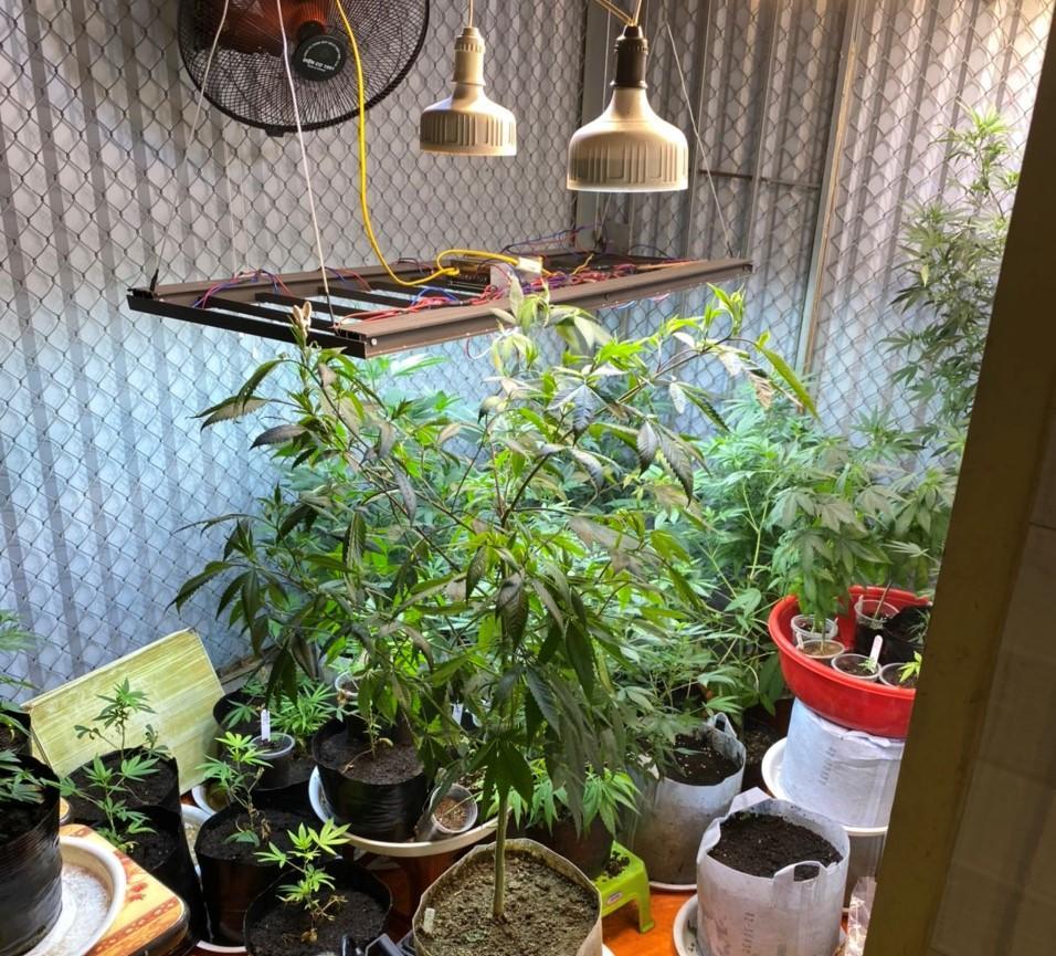 Cần sa được trồng tại nhà Quý