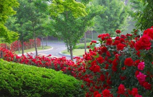 Nếu bạn đến Hàn dịp này, đừng bỏ lỡ lễ hội hoa hồng