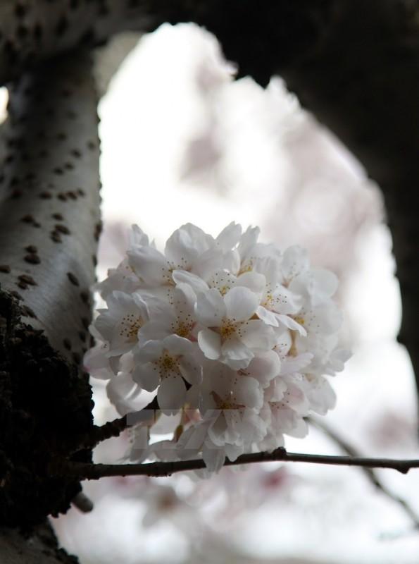 khong chi o nhat anh cung co nhung con pho ngop hoa anh dao