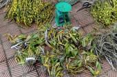 Lâm tặc hạ gỗ lấy phong lan ở Vườn quốc gia Phong Nha