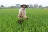 Một ngày ở cánh đồng sản xuất lúa hữu cơ