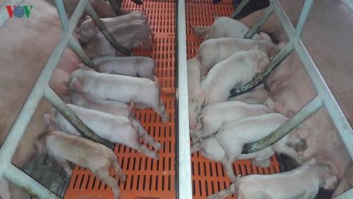 Thịt lợn hơi tăng trở lại, vượt qua ngưỡng 100.000 đồng/kg