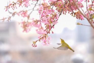 Ảnh đẹp trong tuần: Mê hoặc với vẻ đẹp hoa anh đào ở Nhật Bản