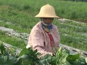 Làm giàu từ trồng rau sạch