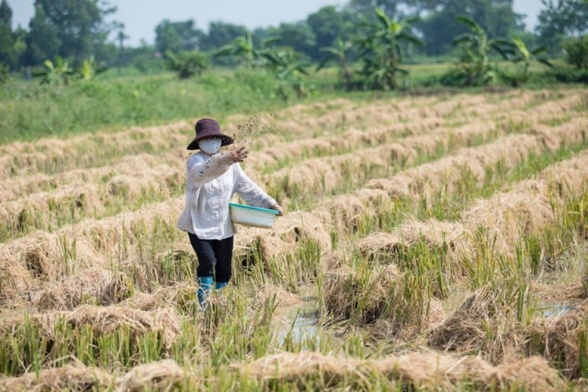 Nhiều nơi, người dân đã xử lý rơm rạ sau thu hoạch bằng chế phẩm sinh học. (Ảnh: Hồng Anh/moitruongvacuocsong)