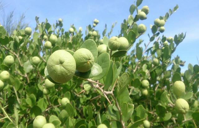 Quảng Ngãi: Ngỡ ngàng rừng cam đường dại trĩu quả trên đảo Bé