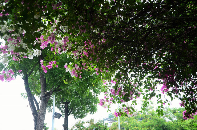 pho phuong ha noi lang man voi nhung gian hoa giay tuyet dep