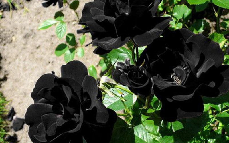 Ngắm những loài hoa chỉ một màu đen bóng độc lạ