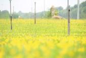 Ngỡ ngàng vẻ đẹp nên thơ của cánh đồng hoa lạc tiên ngay gần Hà Nội
