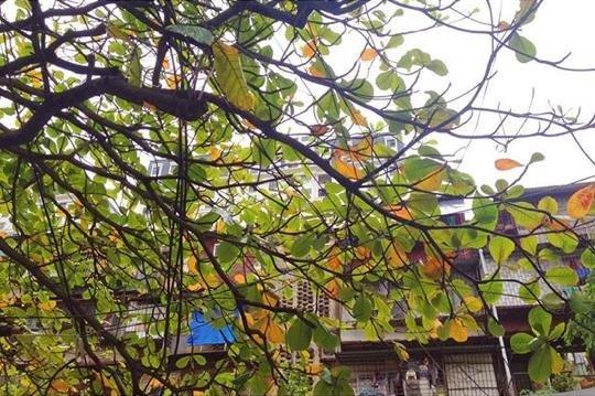 Hà Nội, gió lạnh đầu mùa, lá vàng,