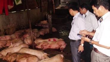 Phát hiện cơ sở giết mổ lợn lở mồm long móng