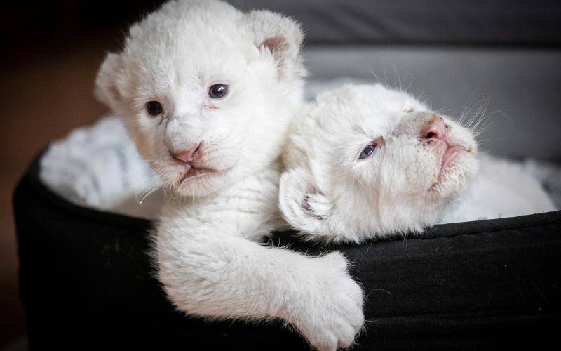 Thư giãn với chùm ảnh siêu dễ thương của các loài động vật khi còn nhỏ