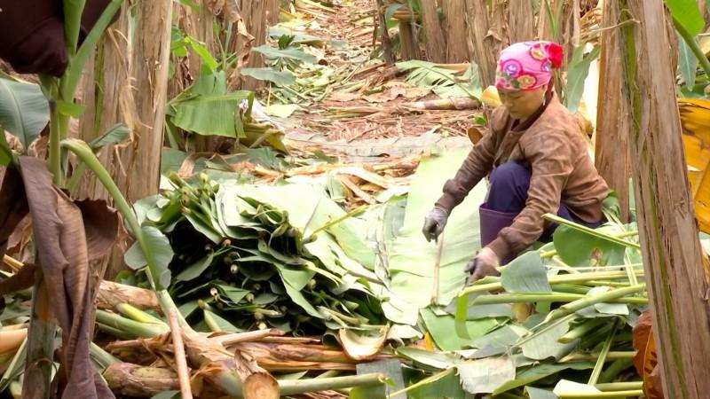 Ổn định kinh tế từ nghề trồng chuối lấy lá