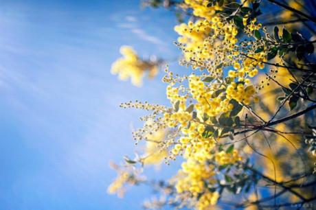 den da lat mua thay ao moi voi sac vang mimosa ruc ro