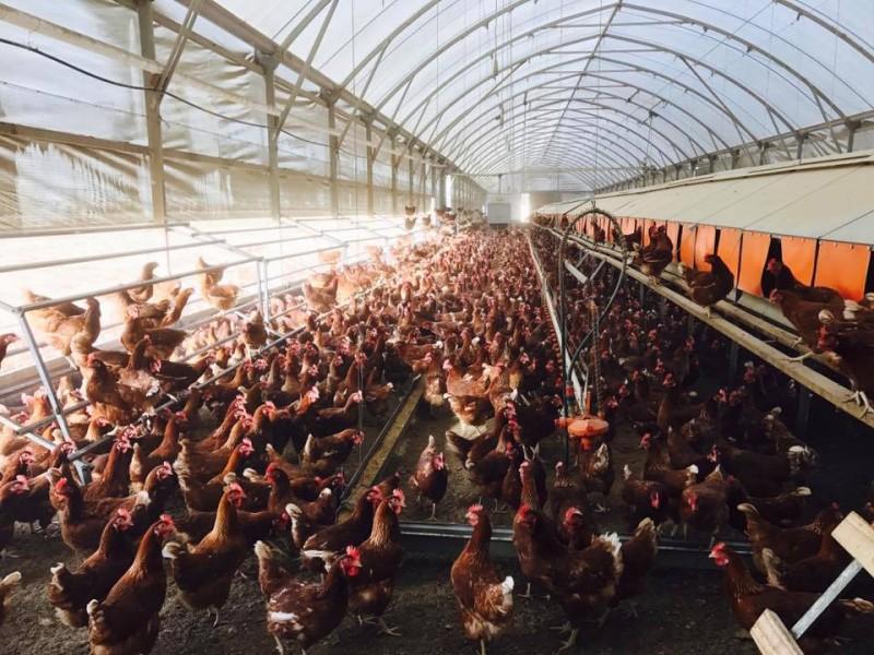 Thịt gà Việt trước ngưỡng cửa vào EU: Chủ động khi thời cơ đến
