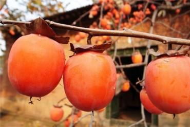 Mê mẩn với những trái hồng chín mọng mỗi độ Thu về