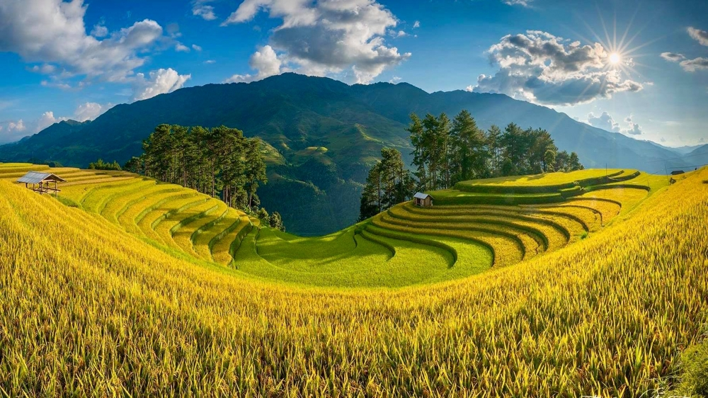 Mù Cang Chải vàng rực một màu lúa