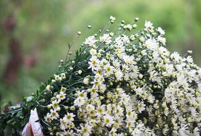 Cúc họa mi - hoa dại giúp nông dân đổi đời