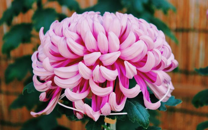 ru nhau ngam hoa anh dao nhieu nguoi nham tuong ve quoc hoa nhat ban