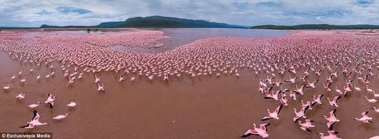 Lake Bogoria in Kenya: A vast flock, or flamboyance to use its correct term, of flamingos prepare to take flight on Kenyas Lake Bogoria