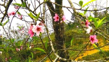 Nghệ An: Hoa đào bung nở tuyệt đẹp mang Tết Đinh Dậu đến sớm